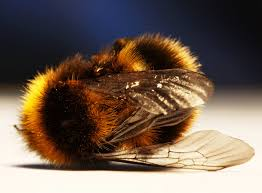 just in time for halloween it u0027s zombie bees science buzz