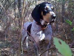 bluetick coonhound basset hound mix reynolds forestry consulting quality timber management in