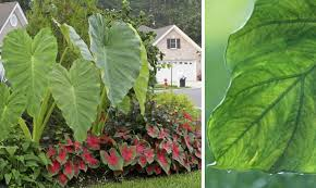 Tropical Plants For Garden - using architectural plants in the garden the garden glove