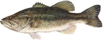 lbf large bass jpg