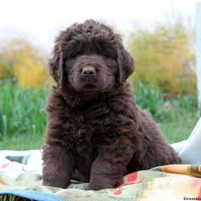 bichon frise breeders in pa newfoundland puppies for sale in pa