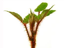 native plants in china wineberry the edible invasive the infinite spider