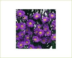 purple mardi gras mardi gras purple spray asters asters flowers by category