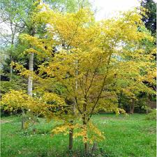 acer palmatum katsura japanese maple tree buy maple tree