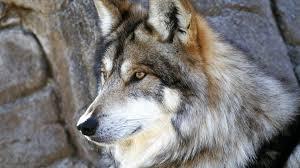 imagenes de fondo de pantalla lobos fondo de pantalla lobo mirando 1920x1080 fondo de pantalla 1044