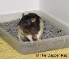Best Bedding For Rats Litter Training Your Pet Rat And Other Great Pet Rat Ideas Pets