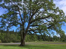 do you oregon white oak trees on your property clackamas swcd