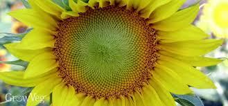 flowers for vegetable gardens