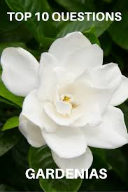 top 10 questions about gardenias gardening know how u0027s blog