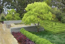 what is the lovely lime green tree thanks