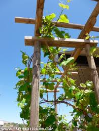 garden trellis ideas for climbing vines u2013 fresh bites daily