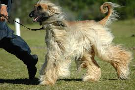 afghan hound weight afghan hound grooming bathing and care espree animal products
