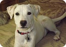 afghan hound and labrador retriever candy adopted dog phoenix az labrador retriever jack