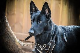 belgian sheepdog breeders pa german shepherd dog