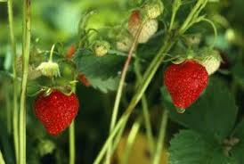 Strawberry Bed How To Thin A Strawberry Bed Home Guides Sf Gate