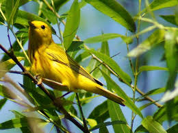 Pennsylvania birds images Butler 39 s birds yellow birds of pennsylvania jpg