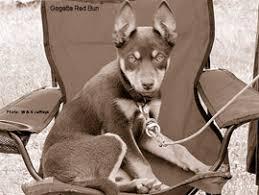 Bench Kelpie Puppies Sale The Working Kelpie As A Pet