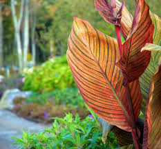 canna lilies how to grow canna lilies in containers