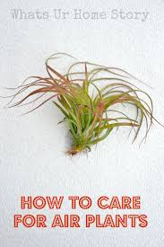 the 25 best air plants care ideas on pinterest caring for air