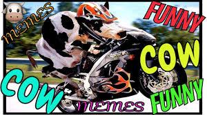Funny Cow Memes - funny cow memes videos de risa humor de vacas lustige kuh vacas