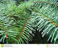 needles of a fir tree stock photography image 307262