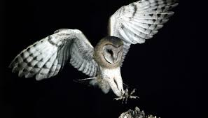 North American Barn Owl Owls Of The Northeast Sciencing