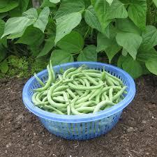 bush bean u0027blue lake 274 u0027 vegetable gardener