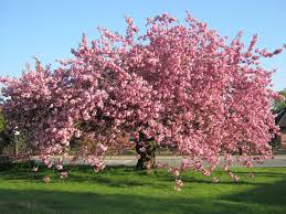 free photo cherry blossom tree meadow pink free image on