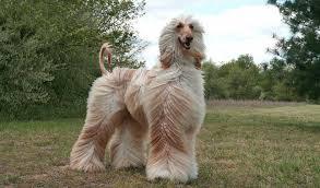 afghan hounds for adoption afghan hound breed information