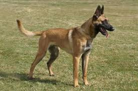 belgian shepherd or malinois belgian malinois for sport police personal protection and family