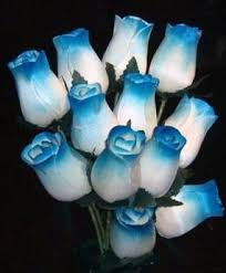 white and blue roses white with blue tips wood roses blue roses
