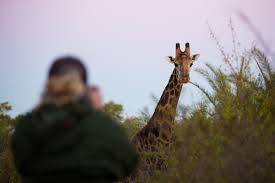 the ten craziest facts you should know about a giraffe londolozi