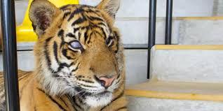 Tiger Blinds Bbc Earth Blind Tiger Shows True Grit