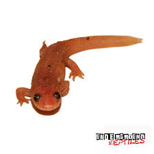newts archives underground reptiles
