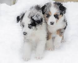 mini australian shepherd 7 months old slow motion aussie shepherd puppies playing in the snow youtube