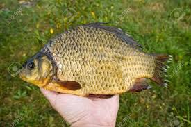 freshwater fish freshwater fish carp stock photo picture and royalty free image