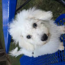 bichon frise jack russell for sale dog for sale bichon frise puppies for sale bichon frise