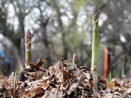 native nebraska plants stalking nebraska u0027s wild asparagus nebraskaland magazine