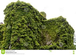 house wall covered with green climbing plants stock photo image