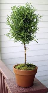 Eugenia Topiary 31 Best Myrtle Topiaries Images On Pinterest Topiaries Pots And