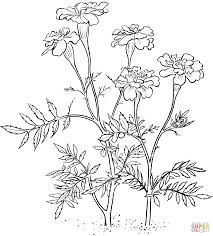 marigolds coloring pages free coloring pages