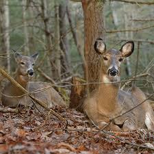 fake deer deer decoy tactics field u0026 stream