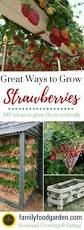 growing strawberries vertically secretgarden gardening