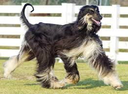 zoso afghan hound afghan hound national 2015 dsc00921 1 samurai monkey and