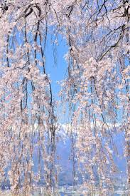 cherry blossoms images 291 best cherry blossom images on pinterest spring landscapes