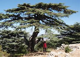 Lebanon Flag Tree The Cedars Of Lebanon Field Notes North Coast Journal