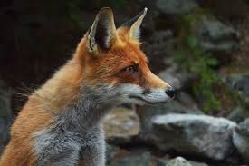 free picture fox predator wildlife animal carnivore mountain