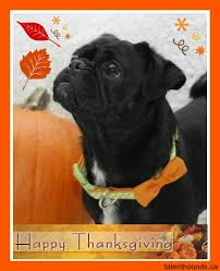 happy thanksgiving canada the pug pug and happy thanksgiving