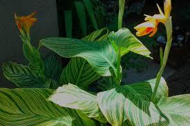 canna lily is my 9 in the top ten heat resistant plants u2013 tjs garden