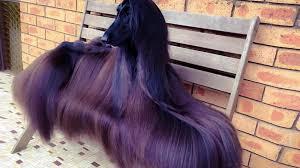 afghan hound rescue az get ready to meet the u0027world u0027s prettiest dog u0027 rover com